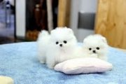 Good Looking Pomeranian Puppies available for sale