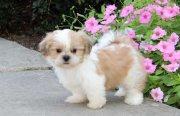Gorgeous shih tzu puppies all ready