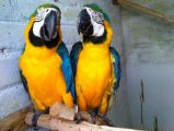 parrots male and female Available for sale