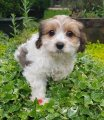 Cavachon Puppies Puppies For Sale