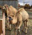 Registered Camels  For Sale