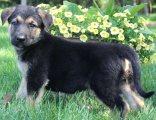 Beautiful German shepherd puppies for sale