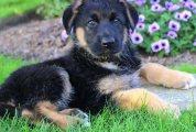 Cute German shepherd puppies for sale