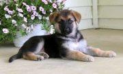 Adorable German shepherd puppies for sale