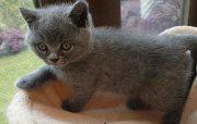 Clean British short hair kittens for sale