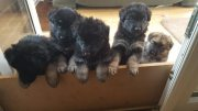 German Shepherd Pure Breed  Puppies For Sale