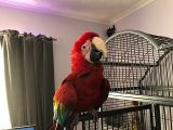 Talking Green-Winged Macaw Parrots Ready
