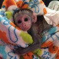 male and female Capuchin Monkeys for sale..o