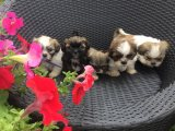 We have a beautiful litter of shih tzu puppies Boys and girls available.