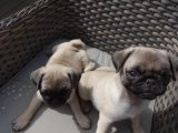 Adorable Pug Puppies For Sale.