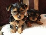 AKC Male and Female Teacup Yorkie Puppies