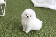 Tiny purebred white pomeranian