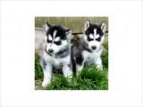 Black and White Siberian Husky puppies