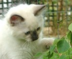 CNICE LOOKING RAGDOL KITTENS FOR FREE ADOPTION