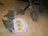 Blue British Shorthair kittens