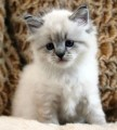 cute Siberian kittens for adoptionssdd