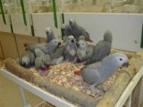 African Grey parrots and parrot eggs for salef