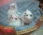 Registered great blood lines persian kittens,Pure bredDDD