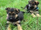 Very Sweet Charming German Shepherd Puppies for sale