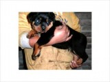 Stunning rottweiller puppies for exceptional p\'ple