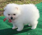 Pomeranian puppies males and females