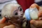 Intelligent, Acrobatic Female pet Monkey