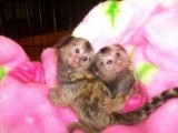 Twin Pygmy Marmosets Monkeys for Sale