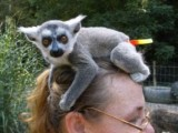 Brown Lemur Monkeys for sale