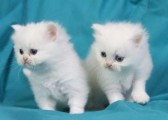 White Persian Kittens for sale