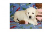 Male and female Labrador Retriever Puppies for Sale
