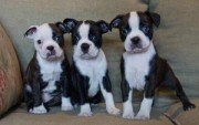 Male and female Boston Terrier Puppies for Sale