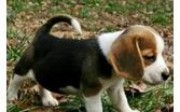 Adorble Male and female Beagle Puppies for Sale