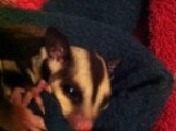 **Twin Baby Boy  and Girl Sugar Gliders Ready To Reserve Now