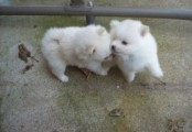 10 weeks Old beautiful Pomeranian Puppy