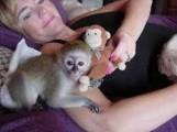Cute Female Capuchin Monkey