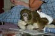 TWO Capuchin monkeys ready now