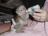 i have one female capuchin monkey ready for a good and loving ho