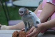 Available Capuchin,Squirrel,Marmoset and Rehesus Macaques Monkey