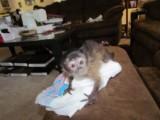 lovely mocapuchin monkeys for adoption