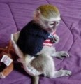 We have available lovely Baby capuchin monkeys to give out
