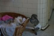 Jovial Baby Capuchin Monkeys for Adoption