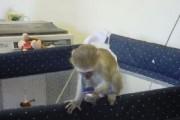 Outstanding Capuchin Monkeys for Adoption