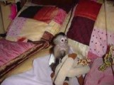 TEA CUP Adorable Male and Female Baby Capuchin Monkeys for Adopt