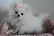 Awesome Pomeranians