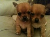 cute looking chihuahua puppies for sale