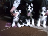 SIBERIAN HUSKY Puppies looking for their new home