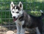 /Affectionate Male and Female Siberian Husky Puppies For SALE (