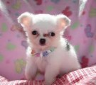 Teacup Male and female Chihuahua puppies for adoption