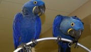 . .Tamed & Talking Hyacinth Macaws Birds With Cage