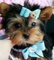 2 Toy Yorkie Puppies Available For Xmas